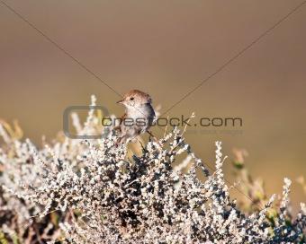 Small brown bird balancing on a shrub in the Karoo