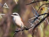 Redbacked shrike with food