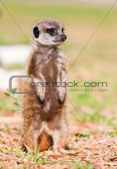 Baby Suricate standing upstraight in the sunshine to look for danger