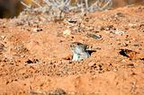 Mouse hiding in is hole in the desert