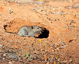 Mouse heading for the safety of his hole