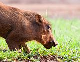 Young Warthog piglet