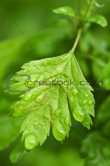Closeup Green Leaf