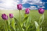 Beautiful Purple Tulips Over Empty Grass Field and Sky with Clouds.