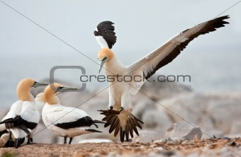 Cape Gannet Landing