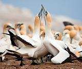 Cape Gannets Greeting