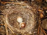 Eggs of Dark-eyed Junco