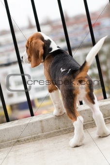 Beagle puppy standing on balcony
