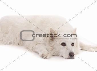 Beautiful White aski severe dog laying down