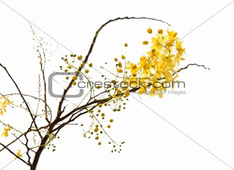 branch of blossom from the golden shower tree isolated with clip