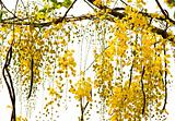 Golden Shower Tree National Tree of Thailand