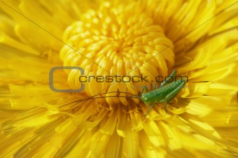 blossoming dandelion with a grasshopper