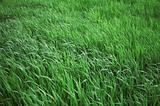 green leaves of a grass