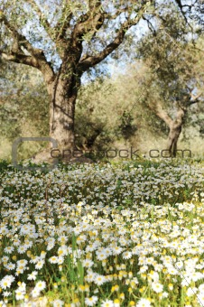 olive trees in a daisy field