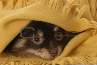 pomeranian puppy hiding under yellow blanket