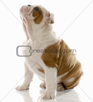 fourteen week old english bulldog puppy sitting looking up