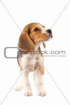 small Beagle puppy