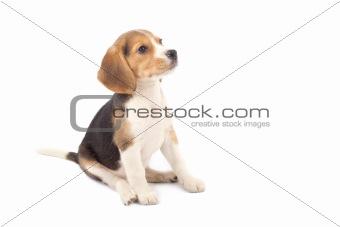 Beagle puppy sitting