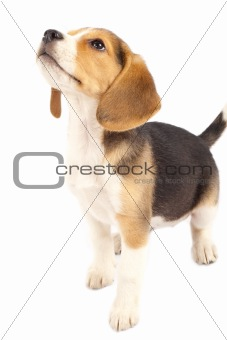 beagle looking at something