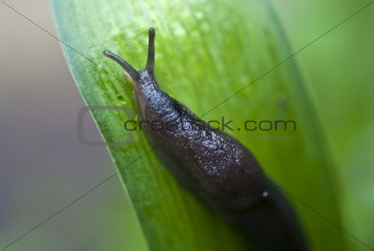 Slug in the Grass, Italy