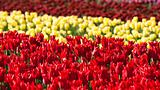 Flowerbed of tulips of different colors
