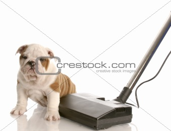 cleaning up after puppy - english bulldog puppy sitting beside vacuum