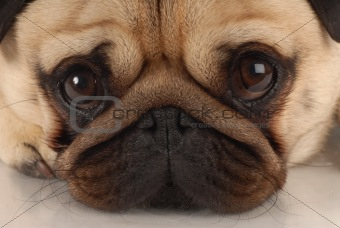 Image 2665205: wrinkly dog face from Crestock Stock Photos