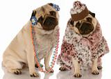 best friends - two pug girlfriends dressed up in fashionable clothing