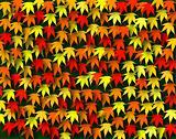 Maple fall