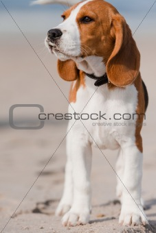 Beagle puppy on a beach