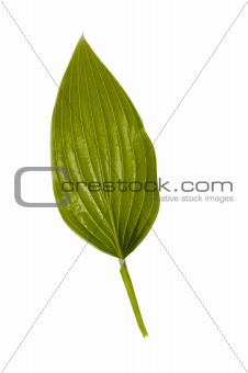 Green leaf isolated on a white background.