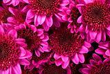Purple Pink Mums