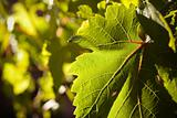 Dramatically Lit Grape Leaf Details on the Vineyard.