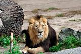 Adult male lion