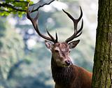 Red Deer Stag (Cervus elaphus)