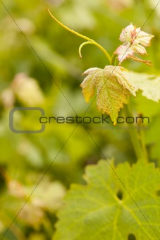 Beautiful Grape Vineyard Leaves In The Morning Mist and Sun with Room for Your Own Text.