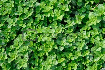 Background of mint