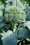 Growing head of broccoli