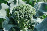 Growing head of broccoli