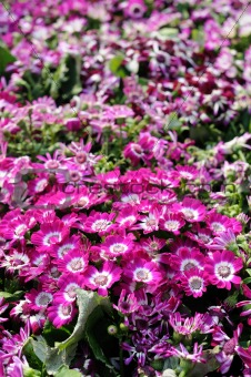 Close up of cineraria