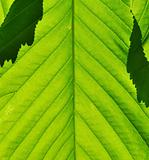 Green leaf closeup