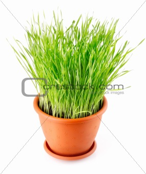 green grass in the pot isolated