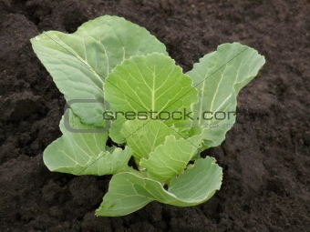 Cabbage the beds