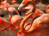 Flock of Beautiful Flamingos with narrow Depth of Field.