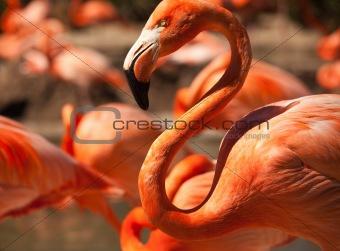 Flock of Beautiful Flamingos with narrow Depth of Field.