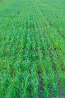 Green wheat fields in spring