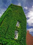 The old house overgrown with ivy.