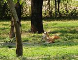 Antelopes resting