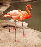 Beautiful Flamingo Couple Rest at the Side of The Water.