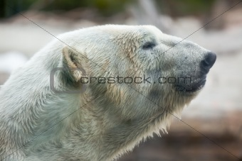 Beautiful Majestic White Polar Bear Profile Image.
